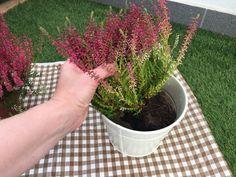 Jednoduchý trik, ako docieliť, aby vám vresy nevysychali a kvitli celú sezónu Planter Pots, Herbs, Flowers, Gardening, Tips, Decor, Gardens, Decoration, Advice