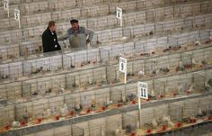 Visitors view pigeons on show during the British Homing World show of the year at Blackpool's Winter Gardens in Blackpool, north west England on January 17, 2016. REUTERS/Andrew Yates