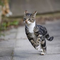 Cat Facts: Celebrating Our Favorite Feline Facts Cat Facts: Celebrating Our Favorite Feline Facts Cats have been known to run at speeds upwards of 30 mph. Kittens And Puppies, Cute Cats And Kittens, I Love Cats, Crazy Cats, Cool Cats, Warrior Cats, Animals And Pets, Baby Animals, Funny Animals