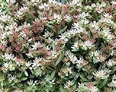 Echeverias | Etsy ES Herbs, Plants, Etsy, Hipster Stuff, Herb, Flora, Plant, Spice