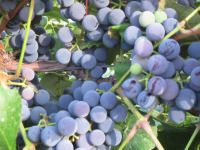 Creating New Grape Plants  You can create your own grape plants from existing grape vines.  Bury the end of a long grapevine during the late summer.  It will start to grow roots.  In the spring, cut the new grape plant away from the mother grapevine and transplant it.