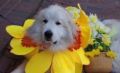 Nothing like Daffodil festival in Nantucket even in the rain!