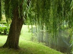 Weeping Green Willow