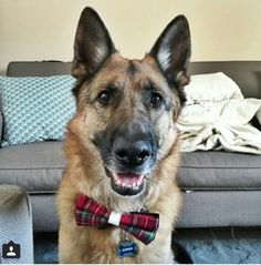German Shepards love bow ties! Barky Bows - Dog bow ties barkybow.com