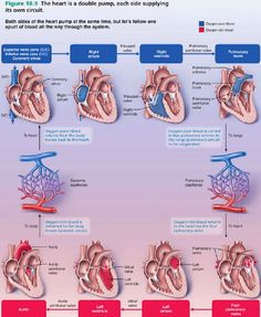 Blood flow of heart blood flow physiology path of blood flow the most amazing thorough visual explanation of blood flow through the heart that i have ever seen ccuart Gallery