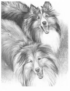 How To Draw A Sheltie | Sheltie dogs drawing by Mike Theuer - WetCanvas
