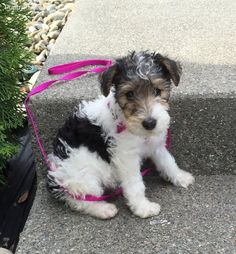 Wire Fox Terrier Pictures (9s3g1hf159h)