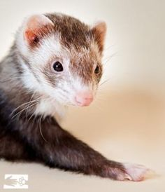 Piper is a snuggly elderly ferret that needs a loving home. Second Hope Circle helps special needs pets in Ontario find homes through promotion, education and funding! www.secondhopecirle.org #specialneedspetsrock #rescuedpets #ontario