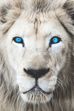"""motivationsforlife: """"Eyes Wide Open (White Lion) by Mark Dumont // Edited by M. motivationsforlife: """"Eyes Wide Open (White Lion) by Mark Dumont // Edited by M. Lion Images, Lion Pictures, Beautiful Lion, Animals Beautiful, Beautiful Things, Animals And Pets, Cute Animals, Baby Animals, Lion Eyes"""
