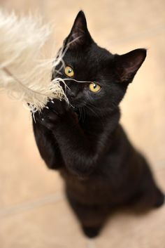 Photo by Josh Norem on fivehundredpx · · · Black cat Got it by Josh Norem Pretty Cats, Beautiful Cats, Animals Beautiful, Cute Animals, Animals Images, Cute Cat Gif, Cute Cats, Funny Cats, Crazy Cat Lady