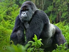 Gorillas | WWF Together iPad app Gorillas
