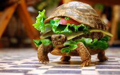 Buzz » Chinês tenta embarcar em avião com tartaruga disfarçada de hamburguer » Arquivo