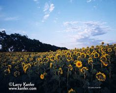 We saw a field of these sunflowers in Door County, Wisconsin -- this photograph is from the Larry Kanfer gallery.