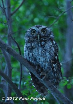 Eastern screech owls are raising owlets in our owl box | Digging