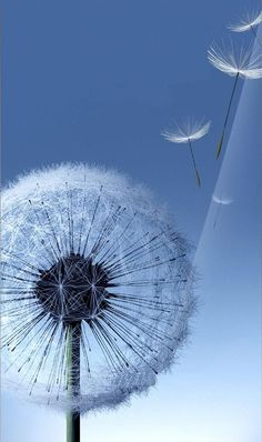 "Search Results for ""dandelion wallpaper samsung"" – Adorable Wallpapers Dandelion Wallpaper, Dandelion Clock, Dandelion Wish, Dandelion Seeds, Nature Wallpaper, Samsung Galaxy Wallpaper, Samsung Galaxy S4, Jolie Photo, World Of Color"