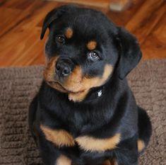 german rottweiler puppy - such intelligent eyes!