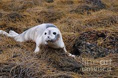 Baby Seal on Seaweed in Maine by DejaVu Designs