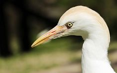 #animal #animal world #ardea alba #bill #bird #creature #eastern #egret #fauna #fish eater #heron #nature #plumage #screaming birds #water bird #wild animal #wildlife photography #zoo