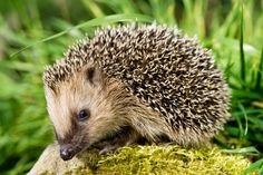 Cute Brown Hedgehog