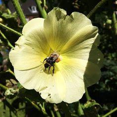 Hummel mit prächtiger Pollenhose