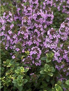 THYMUS citrodorus 'Doone Valley' - Gulbroget Citrontimian, farve: lilla/små gulbroget blade/duftende, lysforhold: sol, højde: 15 cm, bredde: 20 cm, blomstring: juli - august, god til bunddække, klippes ned om foråret i tilfælde af frostsvedne blade.