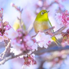 【k.hassi】さんのInstagramをピンしています。 《・ ・ メジロちゃんと〜ってもかわいいので ・ もう一枚アップさせて下さい ・ よ〜く見ると右後ろにもう一羽おられます ・ ・ Location ✷  Wakayama  Japan ・ #桜 #緋寒桜 #寒緋桜 #メジロ #cherryblossom #art_of_japan_ #bestjapanpics #jp_gallery #japan_daytime_view #igersjp #loves_nippon #lovers_nippon #team_jp_ #team_jp_西 #team_jp_flower #tokyocameraclub #instagramjapan #phos_japan #wp_japan #wu_japan #ptk_japan #kf_gallery #wp_flower  #curatethis1x #ig_Japan #ig_shots #yourshotphotographer  #jaw_dropping_shots #はなまっぷ》