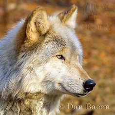 Wolf at Lakota. From the Photography collection of Dan Bacon Founder of Lakota Wolf Preserve. Dan's prints are at Made To Order 44 Main Street, Clinton, NJ
