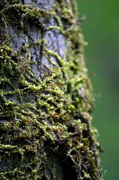 mossy tree macro - Hľadať Googlom Herbs, Kurtis, Mushrooms, Gold, Photography, Beautiful, Country, Photograph, Rural Area