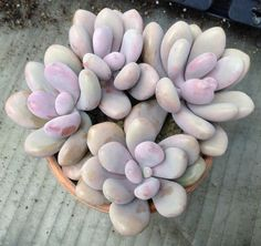 "Pachyphytum Oviferum ""Moonstones"" :: top ten succulent varieties easy to care for beginner gardening garden potting soil pots moonstones"