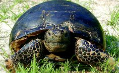 The Gopher Tortoise is a keystone species of the longleaf pine ecosystem. Over 360 other species use tortoise burrows.