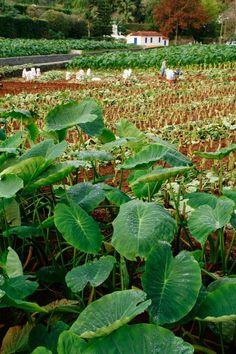 farmers working the taro field, Furnas, Sao Miguel Island, northeastern Azores Islands, Portugal