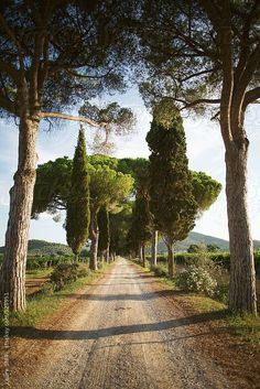 Typical Tuscany tree-lined boulevard in sunny summer day. Rustic Italy. Love it!  ♥️ #bluedivagal, bluedivadesigns.wordpress.com