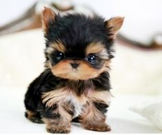 Tiny Teacup Yorkie!! I want it and I want to snuggle it, and carry it in my pocket, and carry it in my purse!!!!!!