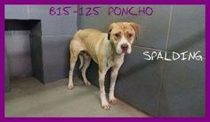 ((CODE RED-#1 on Kill List))  -  Poncho got a short reprieve. He is urgent. If anyone can rescue/adopt, PLEASE do not post here, but message our page. He has pledges to an approved, 501c3 rescue. Please Share this sweet, sad boy for a forever family, foster/adopt w/ your local rescue - B15-125 SHEPHERD mix Male  Location: Griffin, GA- PAST LAST DAY, CAN GO DOWN AT ANY TIME.