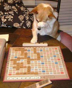 Scrabble playing #Corgi!