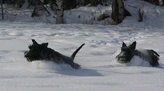 Scottish Terriers.