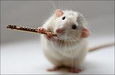 hamster flute traversiere