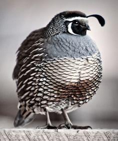 Girly Me - (via Nature - Beautiful Birds / Quail) Pretty Birds, Love Birds, Beautiful Birds, Animals Beautiful, Cute Animals, Baby Animals, Small Animals, Wild Animals, Funny Animals
