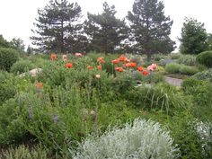 """From http://davesgarden.com/community/forums/t/1006528/#post_6730417 - """"Poppies!"""" (Pike's Peak Purple Penstemon mexicali and some sort of Artemisia appear to be in front of the poppies.)"""