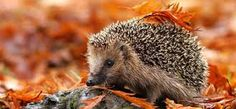 photos of hedgehogs - Google Search
