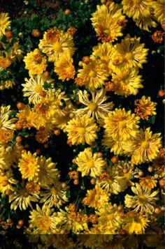 Find help & information on Chrysanthemum 'Yellow Starlet' chrysanthemum 'Yellow Starlet' from the RHS Tropical Flowers, Yellow Flowers, Crysanthemum, Yellow Chrysanthemum, Mums The Word, Variegated Plants, Powdery Mildew, Herbaceous Perennials, Garden Types