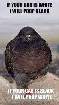 Gangster Pigeon
