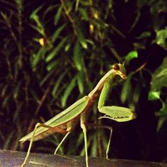 Almost face to face with a Mantis