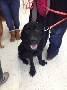 This is Teddy, a 2-3 year old Newfie mix. Teddy was found running as a stray and had a fungal condition and is now really underweight. Teddy is like a big teddy bear, his name suits him. He loves hugs! Walks great on a leash, doesn't bark, is housebroken, and knows all of his basic commands. Teddy was adopted 3.29.14