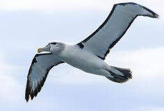 The Bushy Mollymawk Albatros