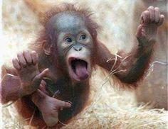 """Lustige Tiere mehr auf http://www.fails.ch A very """"special"""" baby orangutan. Hehe -"""