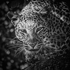 Leopard, Black And White Photograph by Jean Francois Gil