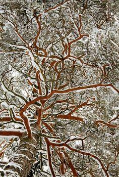 Luminen mänty honka petäjä  Finland