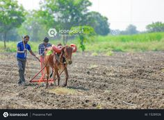 Farmers plowing paddy field with ox. Agriculture Photos, 3d Assets, Icon Pack, Photo Illustration, Ox, Farmers, Vector Free, Flag, Photoshop