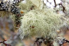Tree Lichen in Applecross, Scotland: This Photo was uploaded by padihamknitter. Find other Lichen pictures and photos or upload your own with Photobucket free image and video . Birches, Year 2, The Great Outdoors, Free Images, Dandelion, Scotland, Photos, Pictures, Nature